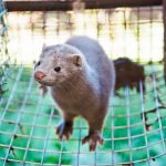 Thousands of mink dead after COVID-19 outbreak at Wisconsin mink farm