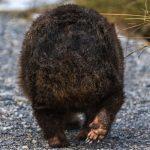 Wombat Butt Stories