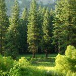 Rare pine stolen from UW Arboretum