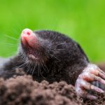Only the Moles Will Survive