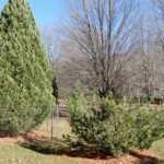 Cardinal Call: Pilfered pines and COVID testing