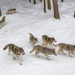 After court order, Wisconsin to hold wolf hunts this month