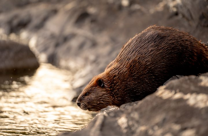 Don't dam it: proposed legislation would set new standards for beaver management