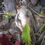 Bird Collision Corps Needs You