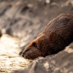The Secret Life of Beavers—And Why They Matter