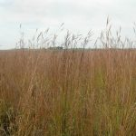 Prairie Strips Help Build Resilient Agriculture