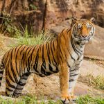 Photograph of a tiger standing in a natural enclosure