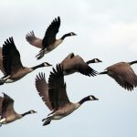 City Of Madison resumes goose management strategies